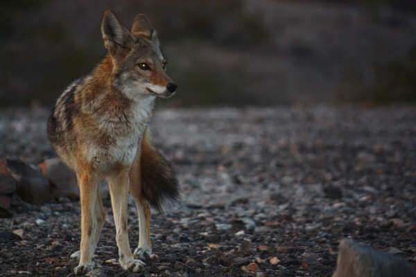 A Coyote, Looking For an Easy Meal