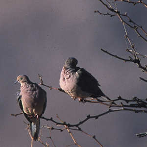 Mourning Doves In The Branches