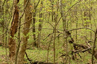hunting morels