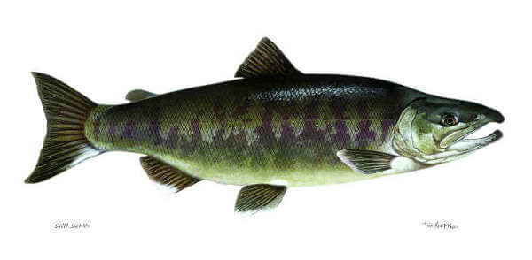 Silverbrite Salmon, Also Known as Chum, or Dog Salmon