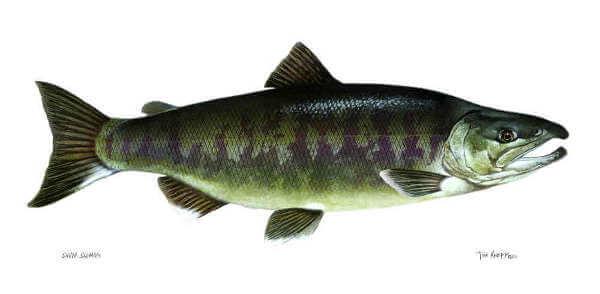 Silverbrite Salmon, Also Known as Chum, or Dog Salmon
