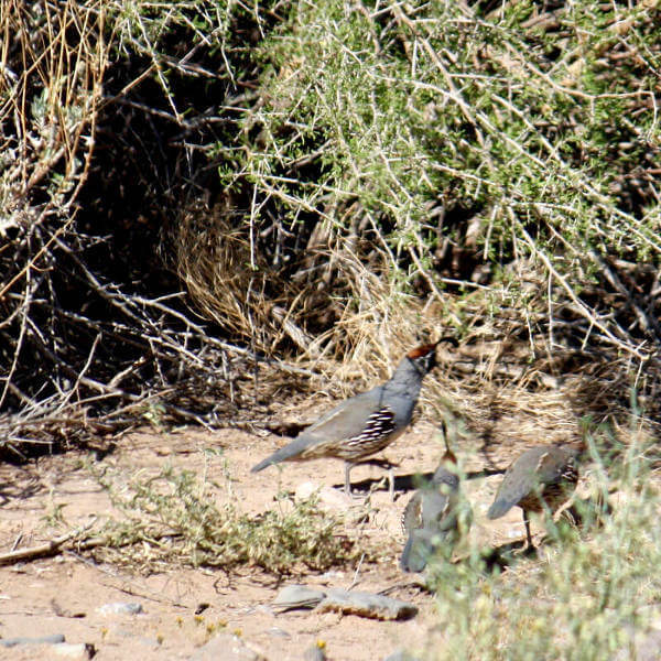 Mountain Quail In The Desert Scrub