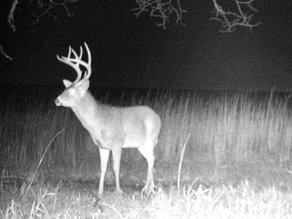 Huge Whitetail Buck In a Game Camera Picture