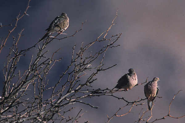 Windswept Mourning Doves On Leafless Tree Branches